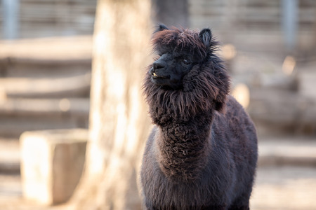 vicugna pacos:  Portrait of Alpaca with black fur  (Vicugna pacos)