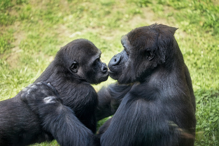 mother gorilla kissing her baby  photo