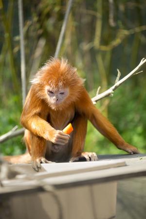 ebony tree:  ebony langur  or orange monkey on tree Stock Photo