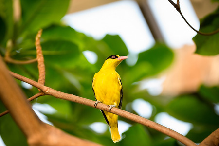 wild canary:  cute yellow  canary on branch Stock Photo