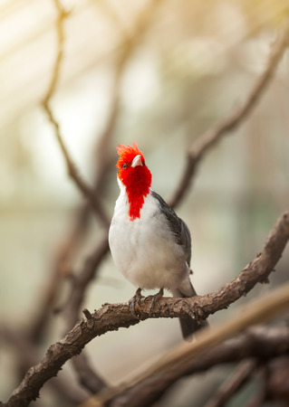 groping:  Beautiful bird with red head standing on branch