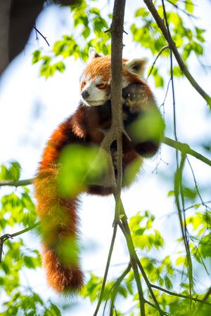 Red Panda sleeping on a branch photo