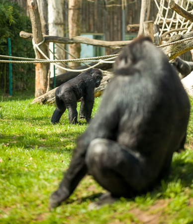 africa kiss:  Gorilla family together  in habitat  Stock Photo