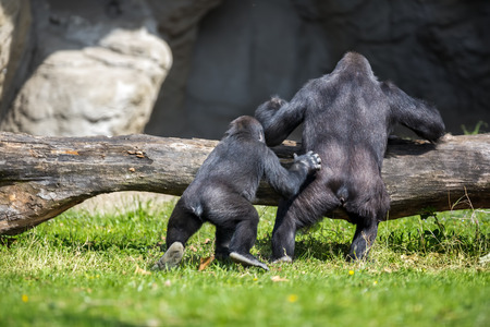 animals together: mother and baby gorilla together in habitat Stock Photo