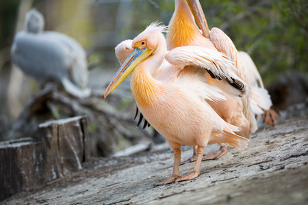 groping:  great white pelican with open wings, Pelecanus onocrotalus
