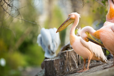 double chin:  beautiful white pelican (Pelecanus onocrotalus) Stock Photo