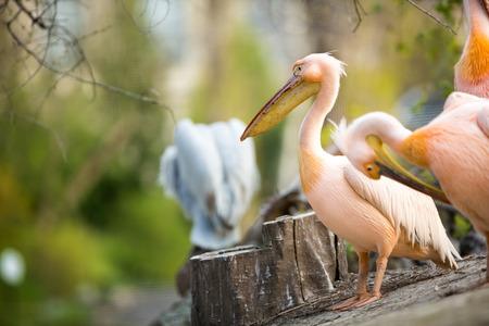 groping:  beautiful white pelican (Pelecanus onocrotalus) Stock Photo