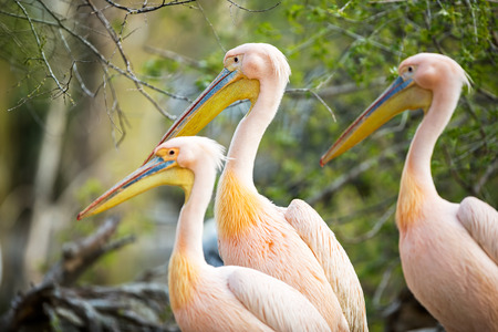 double chin: three  white pelican (Pelecanus onocrotalus) Stock Photo