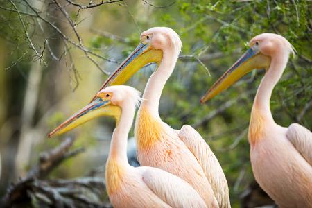groping: three  white pelican (Pelecanus onocrotalus) Stock Photo