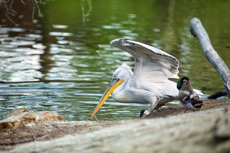 groping: Dalmatian pelican next water fishing (Pelecanus crispus) Stock Photo