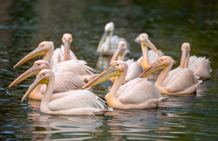 flock of white pelicans on water  (Pelecanus crispus) photo