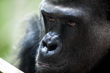 silverback:  portrait of  male gorilla, close up of alpha male