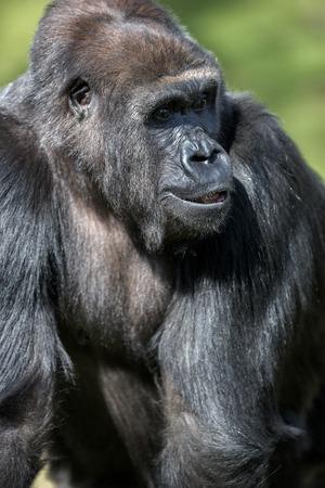 Gorille Des Plaines Orientales Clipart