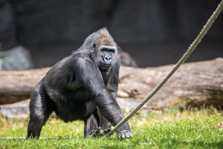 zoological:  male gorilla in zoological park