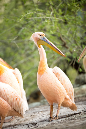 great white pelican standing, Pelecanus onocrotalus photo