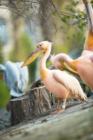 Great White Pelican (Pelecanus onocrotalus) is large and strong bird, this bird has pink plumage and multicolored beak. Stock Photo