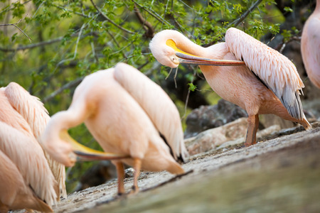 groping:  white pelican (Pelecanus onocrotalus) cleaning  feathers  with beaks