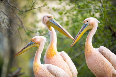 double chin:  Flock of white pelican(Pelecanus onocrotalus) Stock Photo