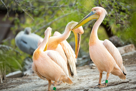 double chin:  Flock of white pelican together  in nature