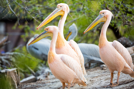 Group of white pelican together  in nature  Stock Photo
