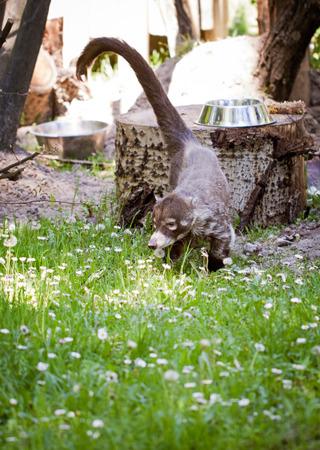stinks: skunk , Mephitis mephitis