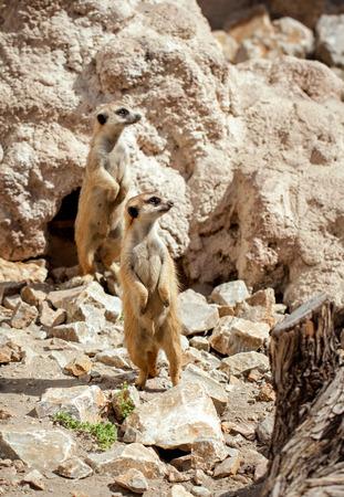 den: Meerkats standing up near den