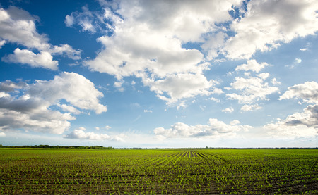 corn fields:  Green feld with beautiful sky, agricultural composition