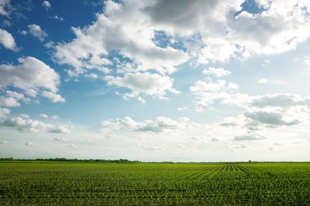feld: Landscape og green corn feld with beautiful sky