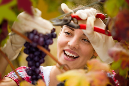 Smiling cute woman harvesting grapes in vineyard photo