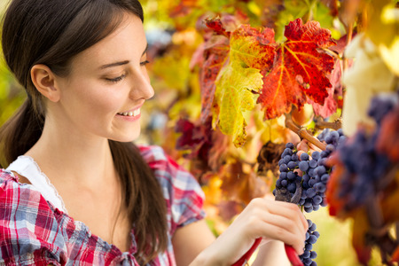 young woman harvesting grape in vineyard photo
