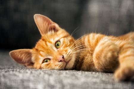 cat playing:  Portrait of cute red kitten, looking at camera