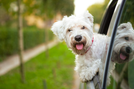 maltese puppy looking out the car window Stock Photo