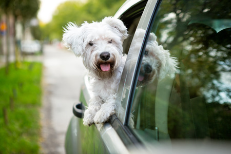 cars road: Young dog , maltese puppy looking out the car window Stock Photo