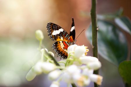 plexippus: Monarch Butterfly (Danaus plexippus) in nature Stock Photo