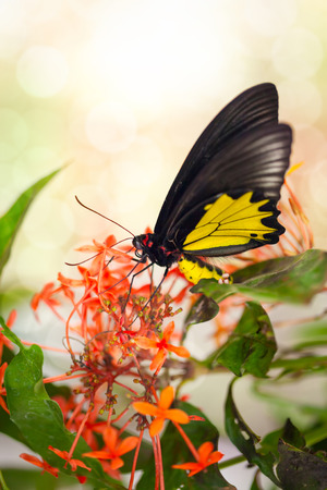 Butterfly on red flower, feeding photo