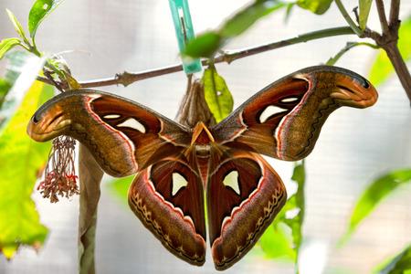 capullo: mariposa joven que sale del capullo, el bebé nació en la naturaleza
