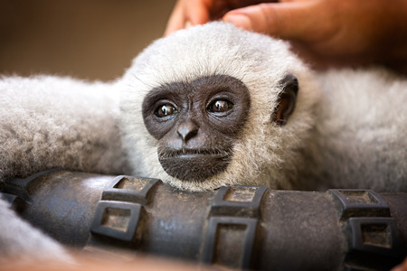 pampering: beautiful young monkey enjoys pampering Stock Photo