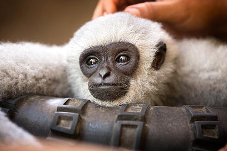 mimos: mono hermoso joven disfruta de mimos