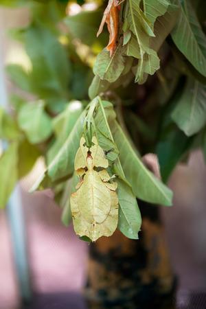 arthropoda: Phyllium Giganteum,  Pulchifolium leaf, bug like leaf