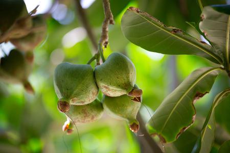 sores: Frutta Barringtonia, Barringtonia asiatica noto anche come Botong o Sea Veleno Albero