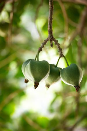 barringtonia: tropical fruit, Barringtonia (Barringtonia asiatica) or Sea Poison Tree
