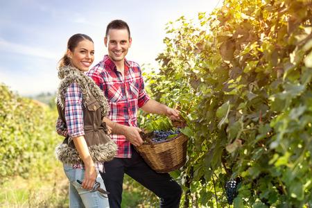 vi�edo: pareja joven y sonriente en la fila del vi�edo de uva recogida Foto de archivo