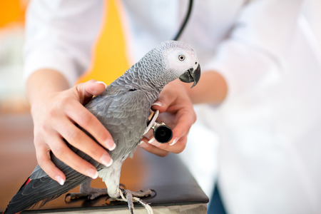 clinics: Veterinarian examining sick African grey parrot with stethoscope at vet clinic