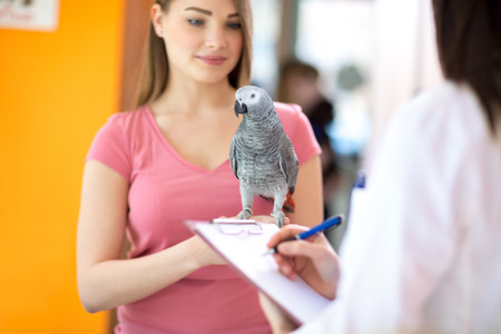 parrot tail: Sick African grey parrot on hand in vet clinic Stock Photo