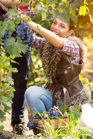 winemaking: Happy girl picking grapes, enjoying great harvest, farming and winemaking concept.