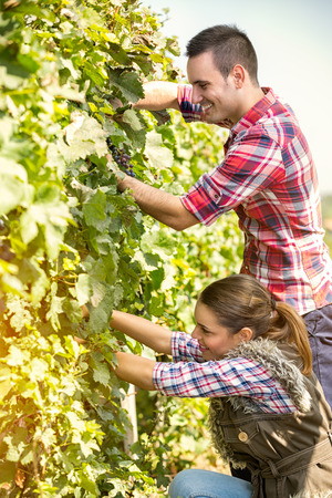 harvest basket: couple worker harvesting grapes in vineyard