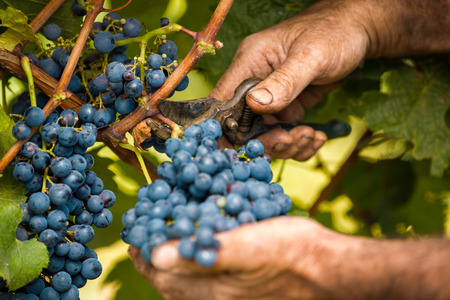 grape harvest close up hands Banco de Imagens