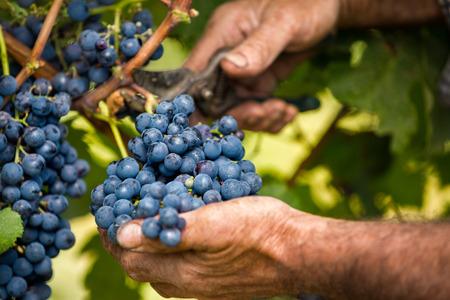 biologia: Cierre de agricultores manos de los hombres de la cosecha de uva