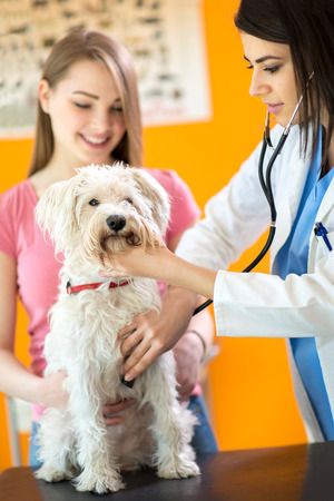 maltese dog: Examination with stethoscope of sick Maltese dog in vet infirmary