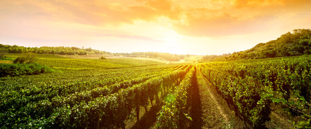 landscape of vineyard, nature background